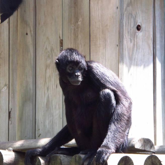 chimpazé